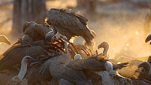 White backed vulture (Gyps africanus) feeding, Linyanti Game Reserve, Botswana. - Christophe Courteau