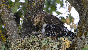 Female Honey buzzard (Pernis apivorus) feeding wasp larvae to her chick, Extremadura, Spain, August. - Francisco Marquez