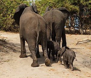 African elephant (Loxodonta africana) two babies follow their mothers, rear view,  Chobe National Park, Botswana.  -  Sharon Heald