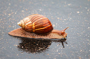 Giant snail (Achatina fulica) drinking on a wet road, Kruger National Park, South Africa.  -  Tony Heald