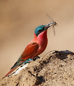 Carmine bee-eater (Merops nubicoides) with insect prey, South Luangwa NP. Zambia.  -  Tony Heald