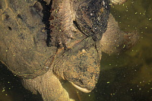 Snapping turtle (Chelydra serpentina) male mating with female, Maryland, USA, August.  -  John Cancalosi