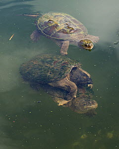 Snapping turtle (Chelydra serpentina) pair mating, Maryland, USA, August.  -  John Cancalosi