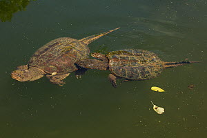 Snapping turtle (Chelydra serpentina) male attempting to mate with female, Maryland, USA, August.  -  John Cancalosi