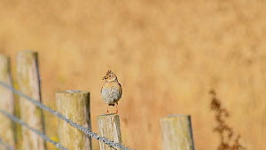 Skylark (Alauda arvensis) perched on a fence post with food in its beak, Kent, July.  -  Terry  Whittaker