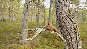 Red squirrel (Sciurus vulgaris) leaping between Scots pine tree (Pinus sylvestris)s, lands on camera, Black Isle, Ross and Cromarty, Scotland, February. - Terry  Whittaker