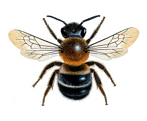 Large mason bee (Osmia xanthomelana) illustration  -  Chris Shields