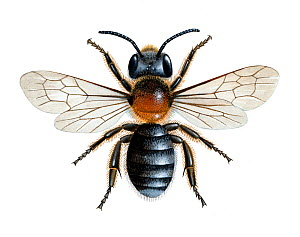 Western mason bee (Osmia parietina) illustration  -  Chris Shields