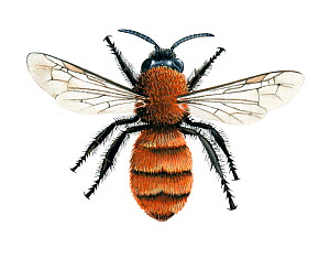 Tawny mining bee (Andrena fulva) female, illustration  -  Chris Shields