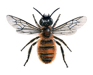 Red mason  bee (Osmia rufa) female, illustration  -  Chris Shields