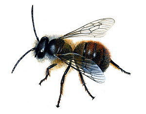 Red mason bee (Osmia rufa) illustration  -  Chris Shields