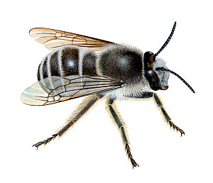 Potter flower bee (Anthophora retusa) illustration  -  Chris Shields
