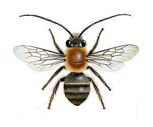 Long-horned mining bee (Eucera longicornis) illustration of a male.  -  Chris Shields