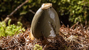 Timelapse of a Common stinkhorn fungus (Phallus impudicus) emerging from the ground, Mendips, Somerset, UK, July.  -  John Waters
