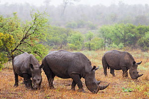 White rhinoceros  (Ceratotherium simum) In the rain Kruger National Park, South Africa.  -  Sharon Heald