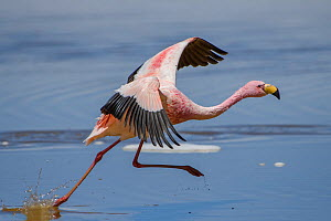 Puna / James flamingo (Phoenicoparrus jamesi) taking off from Laguna Hedionda, between Polques and Quetena, altiplano, Bolivia September  -  Bernard Castelein