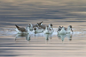 Wilson's phalarope (Phalaropus tricolor) flock on water, Sajama National Park, altiplano, Bolivia September - Bernard Castelein
