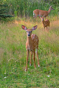 White-tailed deer (Odocoileus virginianus) mother doe with two fawns, one looking at camera, Acadia National Park, Maine, USA. - George  Sanker
