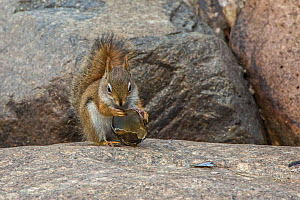 American red squirrel (Tamiasciurus hudsonicus) chewing on freshwater mussel shell,  Acadia National Park, Maine, USA  -  George  Sanker