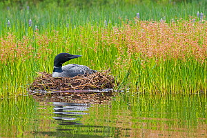 Common loon (Gavia immer) nesting at edge of lake, Acadia National Park, Maine, USA, August - George  Sanker