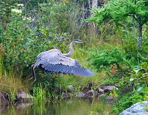 Great blue heron (Ardea herodias) just taking off from pond, Acadia National Park, Maine, USA August  -  George  Sanker