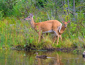 White-tailed deer (Odocoileus virginianus) mother doe and fawn by pond with American black duck (Anas rubripes), Acadia National Park, Maine, USA, August - George  Sanker