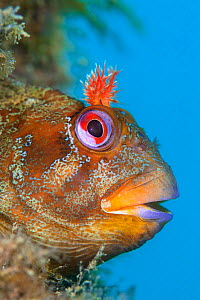 Tompot blenny (Parablennius gattorugine) male peers out of its den, in leg of Swanage Pier, Swanage, Dorset, UK, English Channel, August  -  Alex Mustard