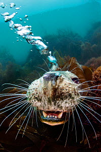 Grey seal (Halichoerus grypus) young female opens her mouth and blows bubbles through her nose playfully while she looks up from the seabed. Lundy Island, Devon, UK, Bristol Channel. August. Highly co... - Alex Mustard