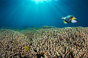RF - Titan triggerfish (Balistoides viridescens) swimming over hard coral (Acropora sp.) gardens. Kri Island, Raja Ampat, West Papua, Indonesia. Dampier Strait, tropical west Pacific Ocean. (This imag...  -  Alex Mustard