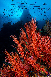 RF - Seafans (Melithaea sp.) growing on dropoff, beneath schooling fish. Boo Windows, Boo Islands, Misool, Raja Ampat, West Papua, Indonesia. Tropical West Pacific Ocean. (This image may be licensed e... - Alex Mustard