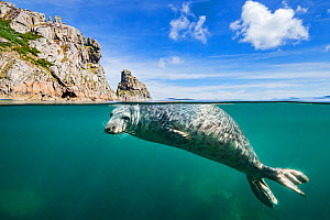 RF - Young grey seal (Halichoerus grypus) swimming at surface beneath cliffs of Lundy Island, Devon, England, United Kingdom. British Isles. Bristol Channel. North East Altantic Ocean. (This image may...  -  Alex Mustard