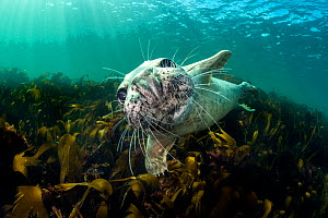 RF - Curious young grey seal (Halichoerus grypus) over kelp. Farne Islands, Northumberland, England, United Kingdom. British Isles. North Sea. (This image may be licensed either as rights managed or r...  -  Alex Mustard