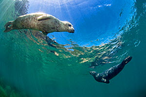 RF - Young female and young male grey seal (Halichoerus grypus) swimming in shallows. Lundy Island, Devon, England, United Kingdom. British Isles. Bristol Channel. (This image may be licensed either a...  -  Alex Mustard