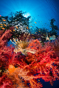 RF - Pair of lionfish (Pterois volitans) prowling soft coral (Dendronephthya hemprichi) growing on wreck of the Cedar Pride, hunting glassfish. Aqaba, Jordan. Gulf of Aqaba, Red Sea. (This image may b...  -  Alex Mustard