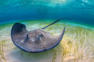 RF - Large female stingray (Hypanus americanus) forages over seagrass in shallow water. The Sandbar, Grand Cayman, Cayman Islands. British West Indies. Caribbean Sea. (This image may be licensed eithe... - Alex Mustard