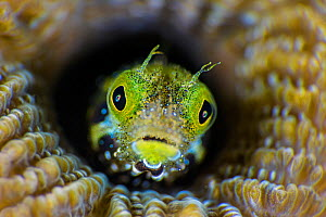RF - High magnification photo of Secretary blenny (Acanthemblemaria maria) in boulder brain coral (Colpophyllia natans). East End, Grand Cayman, Cayman Islands, British West Indies. Caribbean Sea. (Th...  -  Alex Mustard