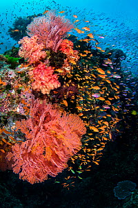 RF - A colourful reef scene with seafans (Melithaea sp.) soft corals (Dendronephthya sp) and mainly female scalefin anthias (Pseudanthias squamipinnis). Ra Province, Viti Levu, Fiji, Polynesia. Bligh...  -  Alex Mustard