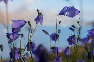 Meadow with Bluebells (Campanula rotundifolia) Quassiarsuk / Brattahlid, southern Greenland. July. Small repro only.  -  Pal Hermansen
