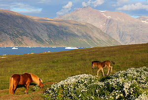 Landscape with horses Quassiarsuk, Southern Greenland, July 2016.  -  Pal Hermansen