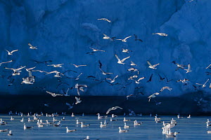 Kittiwakes (Rissa tridactyla) at glacier front, Monaco glacier, Svalbard, Norway, July 2016. - Pal Hermansen