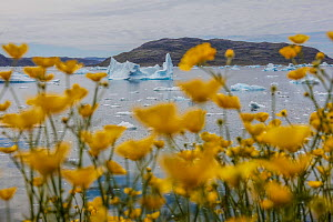 Meadow buttercup (Ranunculus acris) and icebergs, Narsaq, Greenland, July. - Pal Hermansen
