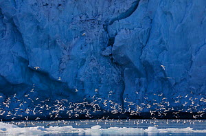 Kittiwakes (Rissa tridactyla) in front of glacier, Monaco Glacier, Svalbard, Norway, July. - Pal Hermansen
