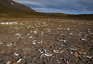 Walrus (Odobenus rosmarus) bones, left by hunters in early twentieth century,  Dolerittneset, Eastern Svalbard, Norway. July.  -  Pal Hermansen