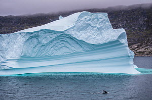 Northern minke whale (Balaenoptera acutorostrata) and iceberg. Near Narsaq, southern Greenland, July.  -  Pal Hermansen