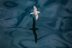 Fulmar (Fulmarus glacialis) flying with reflection on sea, Iceland, July. - Pal Hermansen