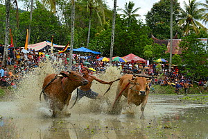 People watching Zebu cattle race  as they  gallop through mud during celebrations after rice harvest, Sumatra.  -  Daniel  Heuclin