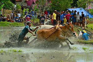 Zebu cattle race through mud during celebrations after rice harvest, Sumatra. July 2016.  -  Daniel  Heuclin