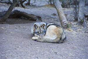 Arctic Grey wolf (Canis lupus linnaeus) curled up asleep, Calfiornia Wolf Centre, San Diego County, California, USA, captive  -  Doc White