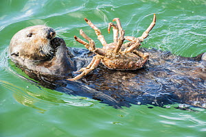 California sea otter (Enhydra lutris) feeding on Northern kelp crab, Monterey Bay, California, USA, Eastern Pacific Ocean, May - Doc White