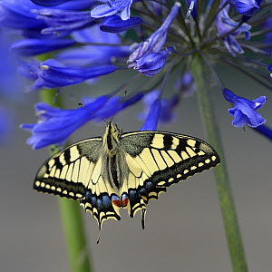 Swallowtail butterfly (Papilio machaon) on Lily of the Nile (Agapanthus) Bretagne, France, July - Loic  Poidevin